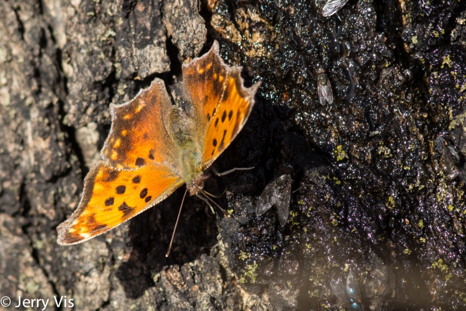 Comma butterfly getting a drink