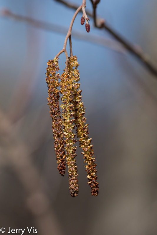 Willow? catkins