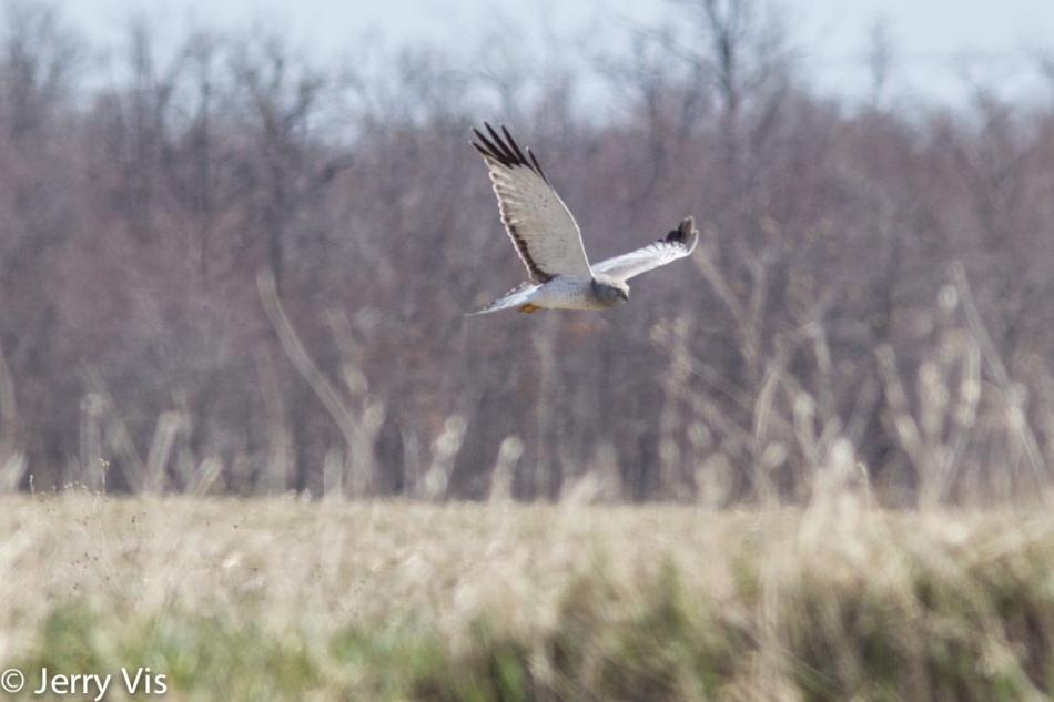 Male northern harrier in flight