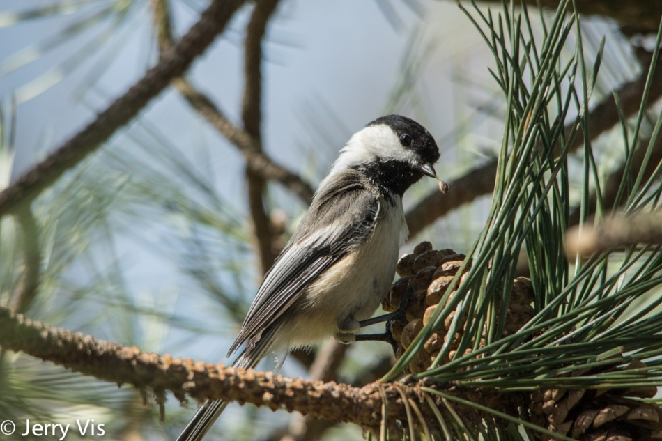 Black-capped chickadee with a pine seed