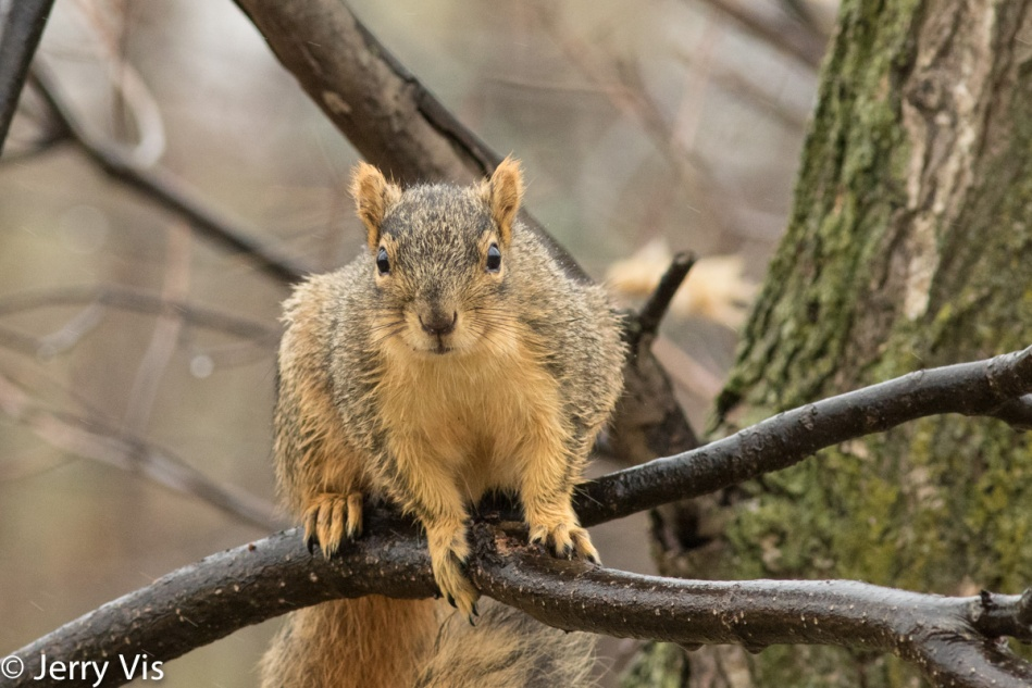 Fox squirrel in the rain