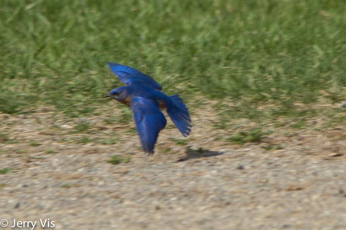 Eastern bluebird in flight - photo#26