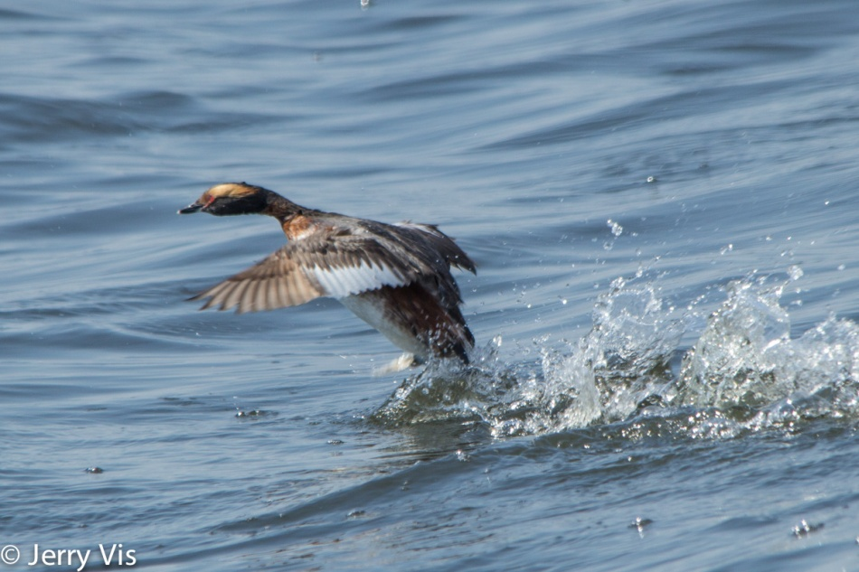 Horned grebe taking flight