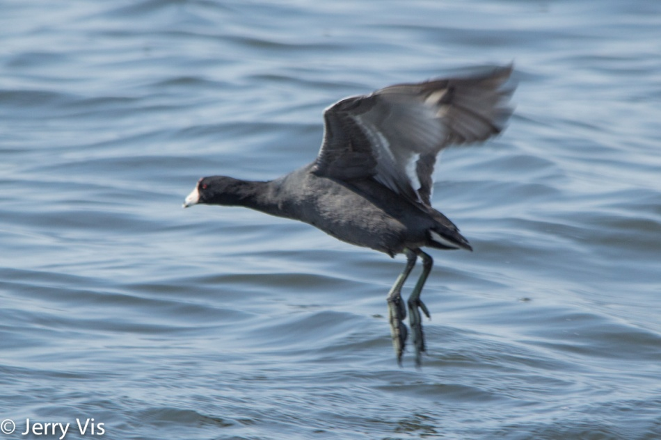 American coot taking flight