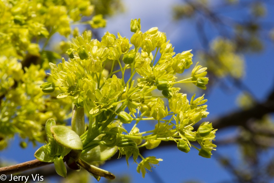 Maple flowers