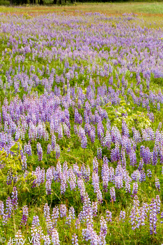 Lots of lupine