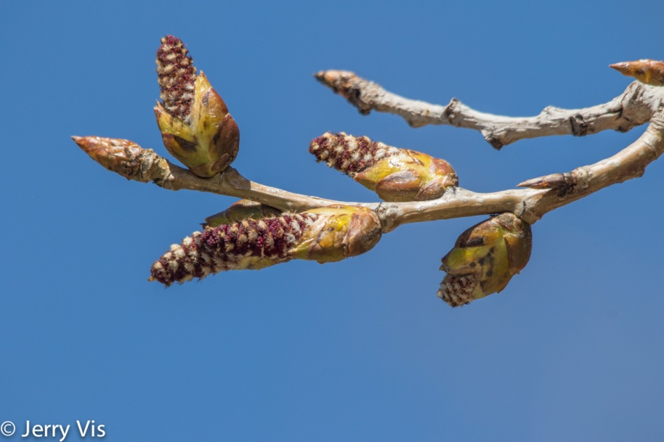 Cottonwood catkins