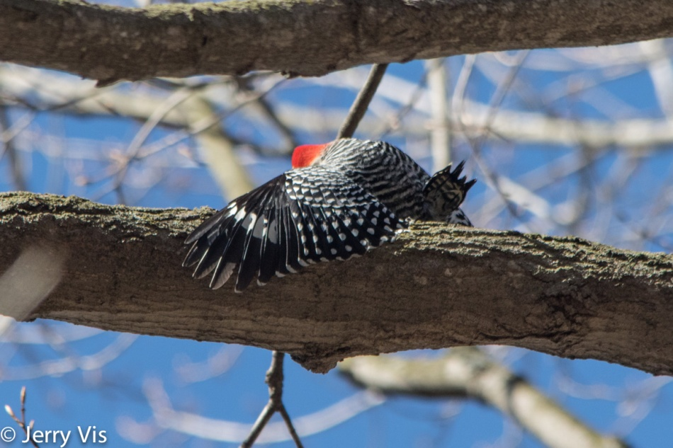Red=bellied woodpeckers mating