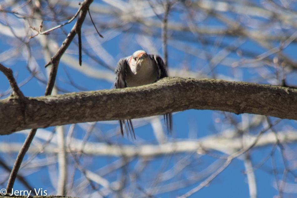 Female Red-bellied woodpecker in flight