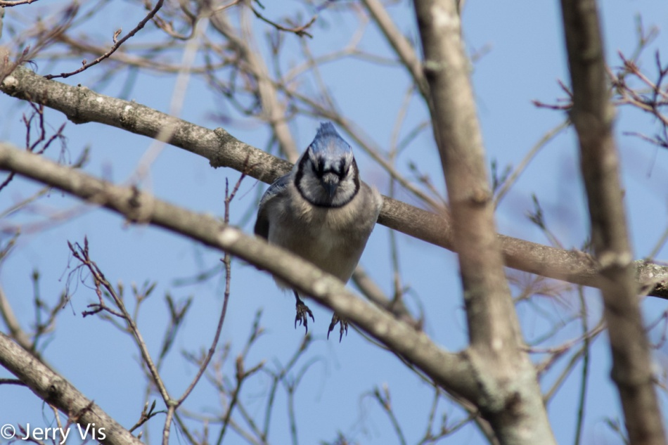 Blue jay on the move