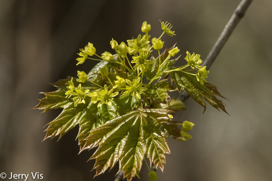 Spring maple flowers and leaves