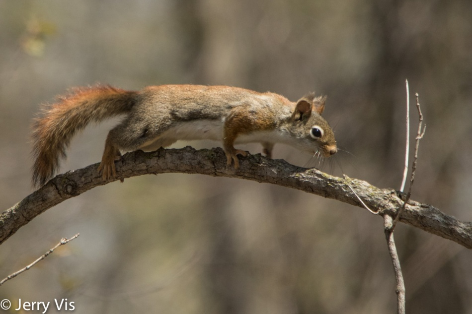 Red squirrel landing on a branch
