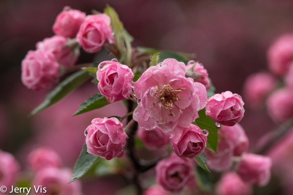 Crabapple flowers in the rain