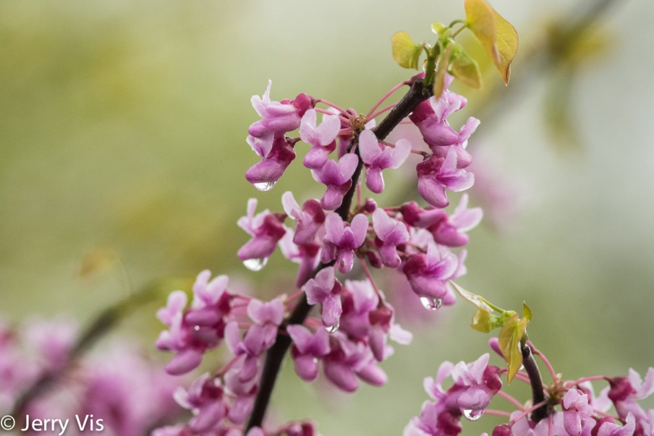 Redbuds in the rain
