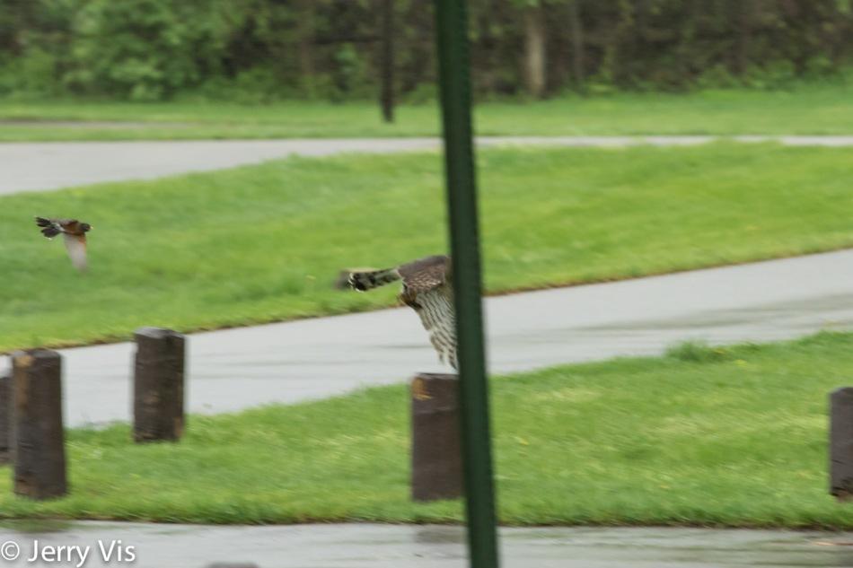 American robin chasing a Cooper's hawk