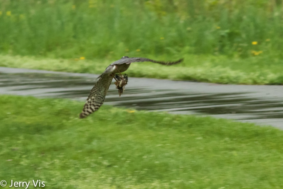 Cooper's hawk carrying off a young robin