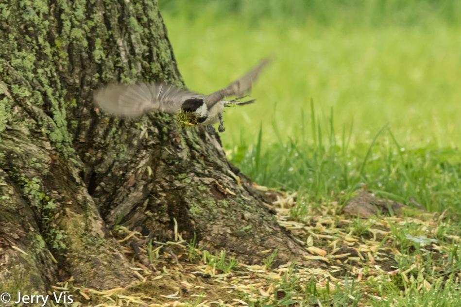 Black-capped chickadee in flight
