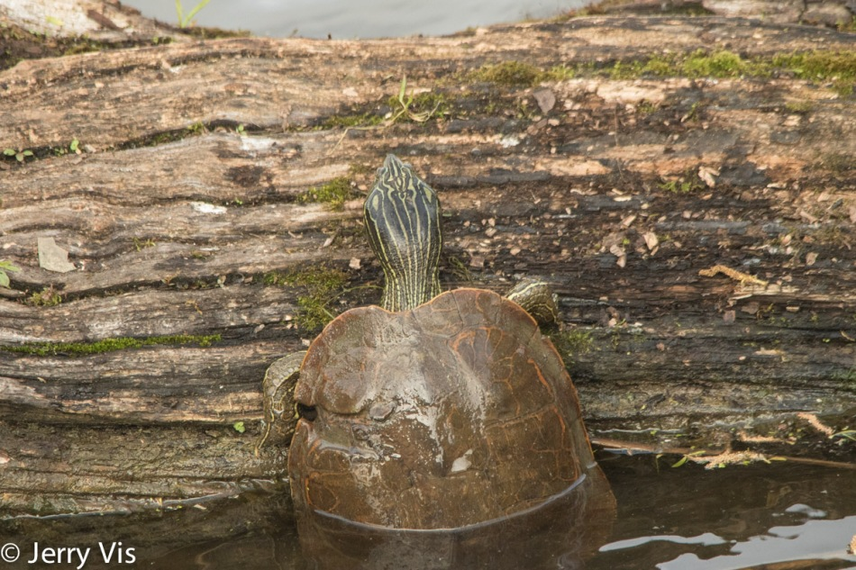 Turtle with a deformed shell climbing a log