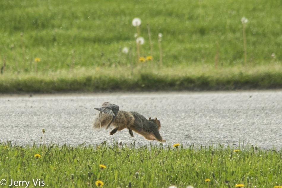 American robins attacking a fox squirrel