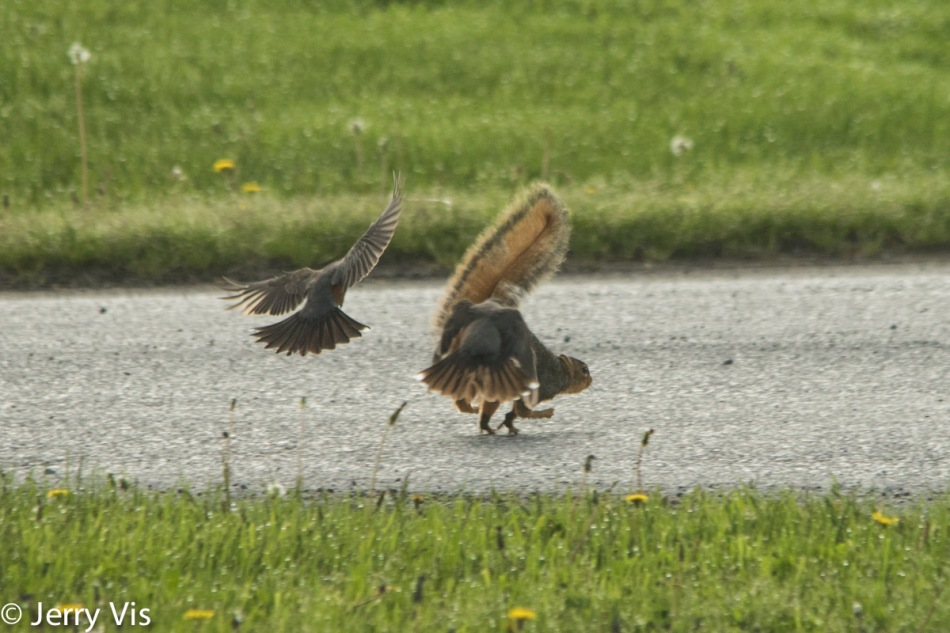 American robins attacking a fox squirrel