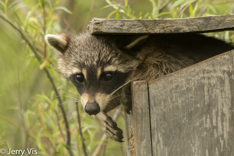Raccoon, just hanging out