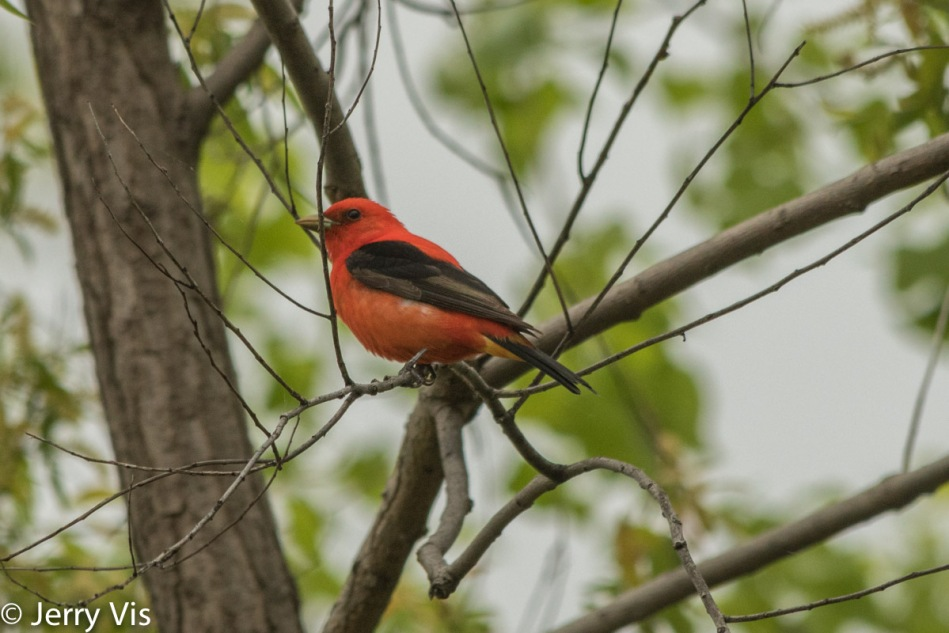 Scarlet tanager, Adobe standard profile