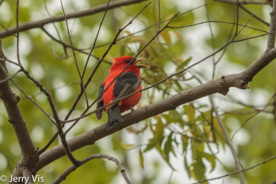 Scarlet tanager, Camera standard profile