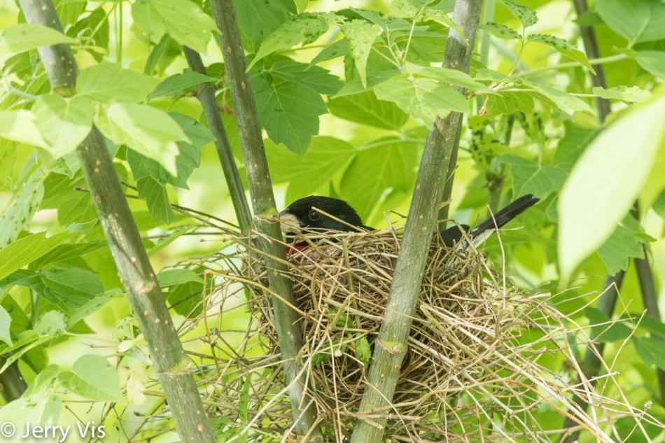 Male rose-breasted grosbeak on its nest