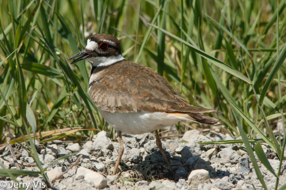 Killdeer on her nest