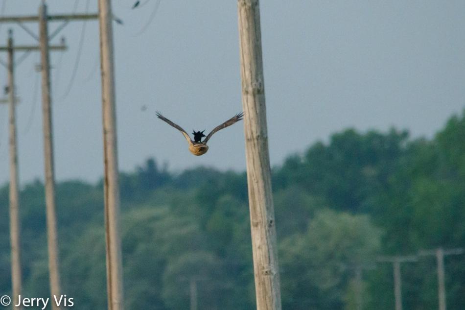 """Red-winged blackbird """"hawk surfing"""""""