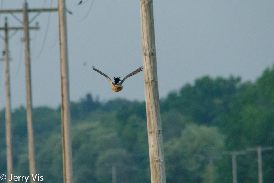 "Red-winged blackbird ""hawk surfing"""