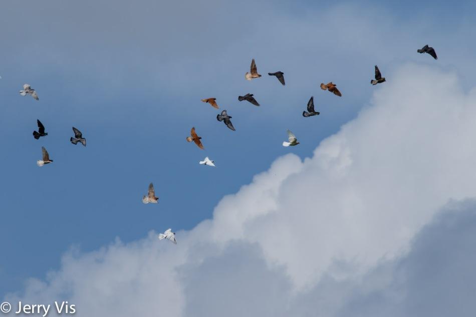 Rock doves (pigeons) in flight
