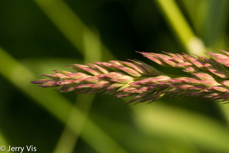 Unidentified grass about to flower