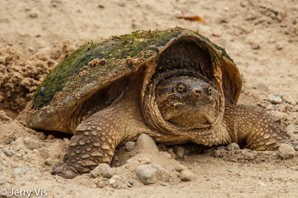Female snapping turtle laying eggs