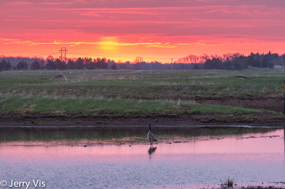 Lone Canada goose at sunrise