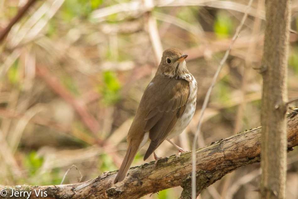 Hermit thrush twitching its tail