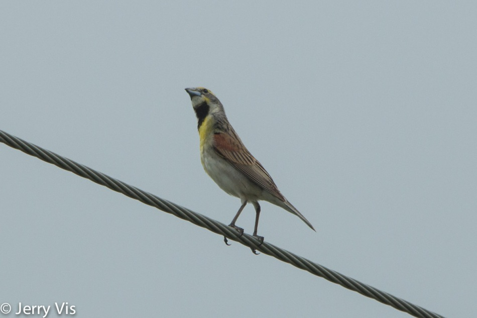 Male dickcissel looking for a mate