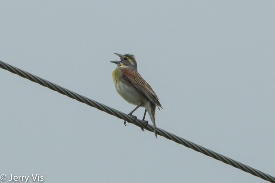 Male dickcissel singing