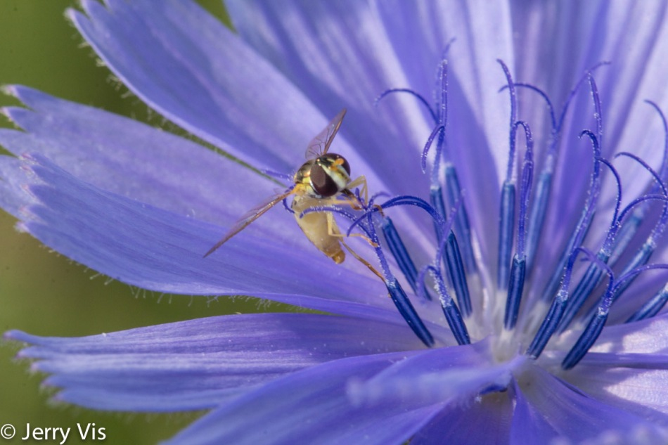 Chicory and unidentified insect