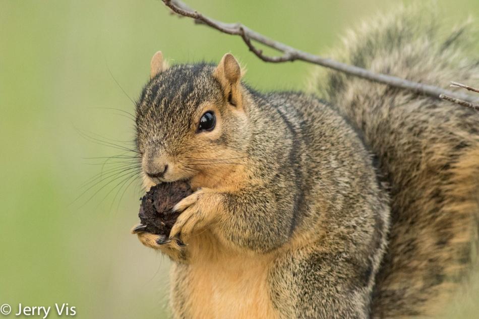 Fox squirrel enjoying lunch