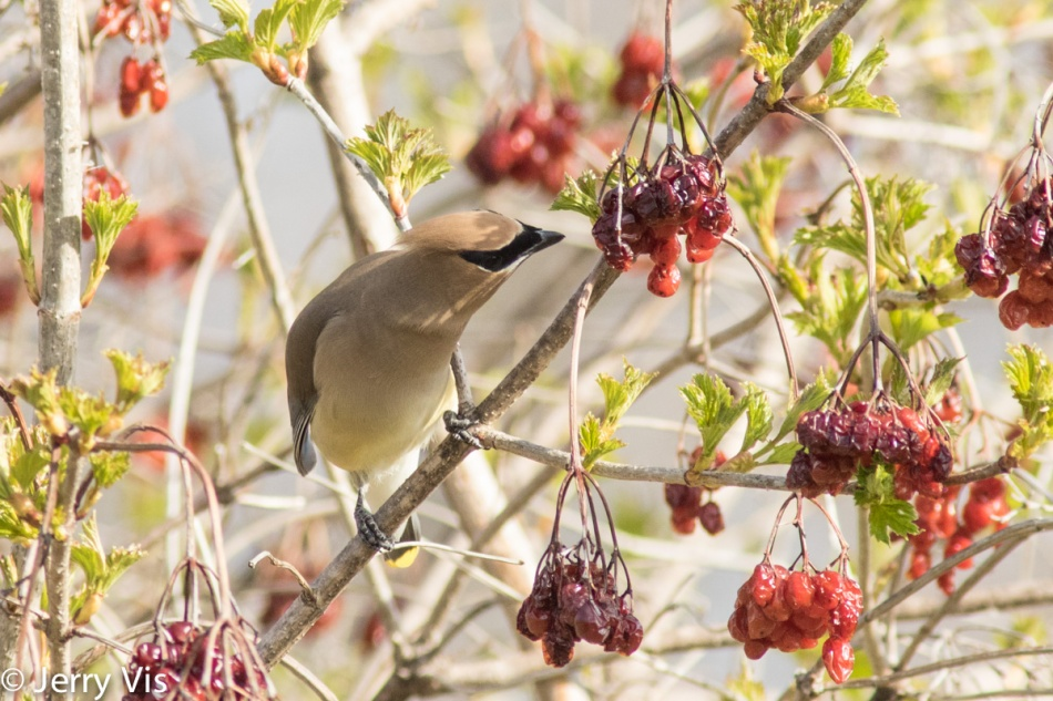 Cedar waxwing enjoying lunch