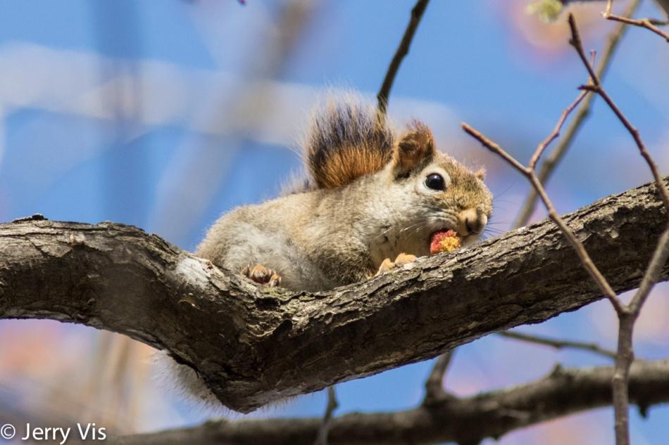 Red squirrel enjoying lunch