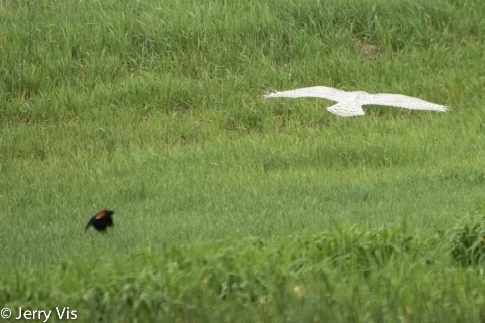 Red-winged blackbird going after a snowy owl