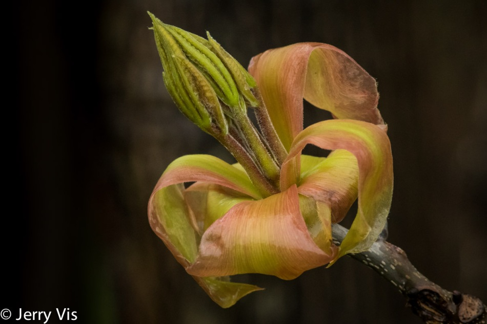 Shagbark hickory leaves