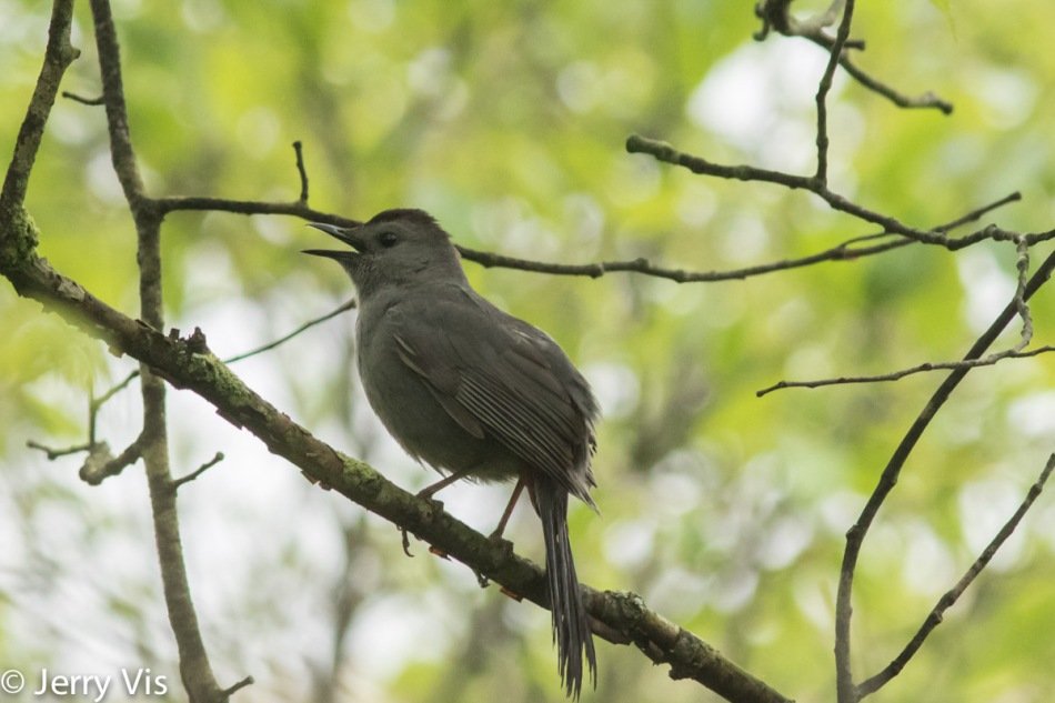Grey catbird siinging