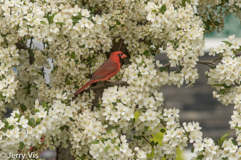 Male northern cardinal and white flowering tree