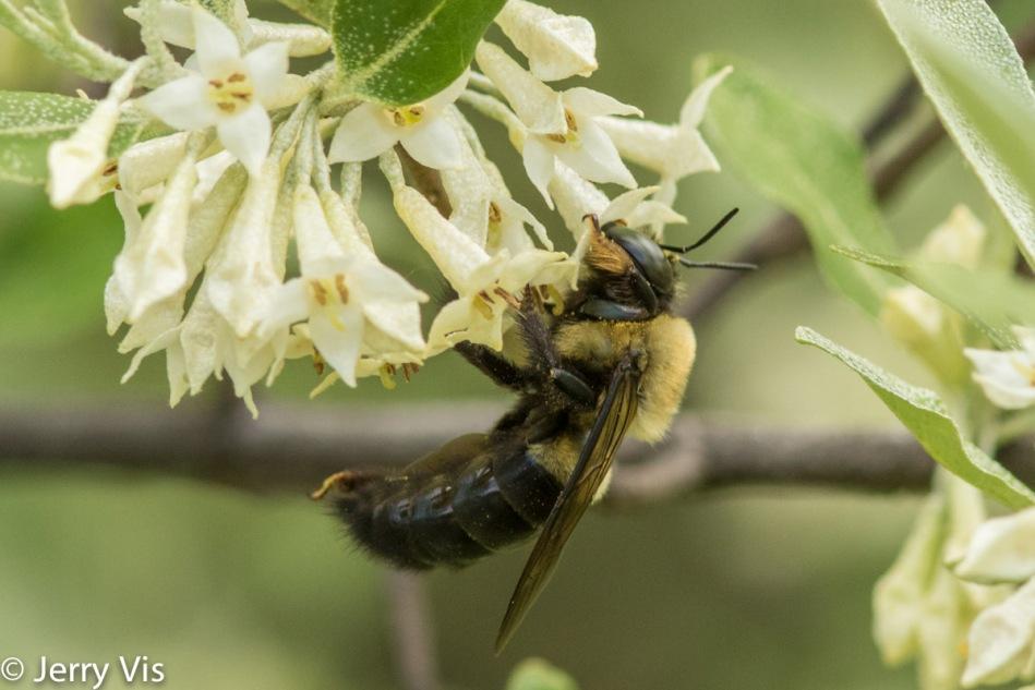 Bee on honeysuckle