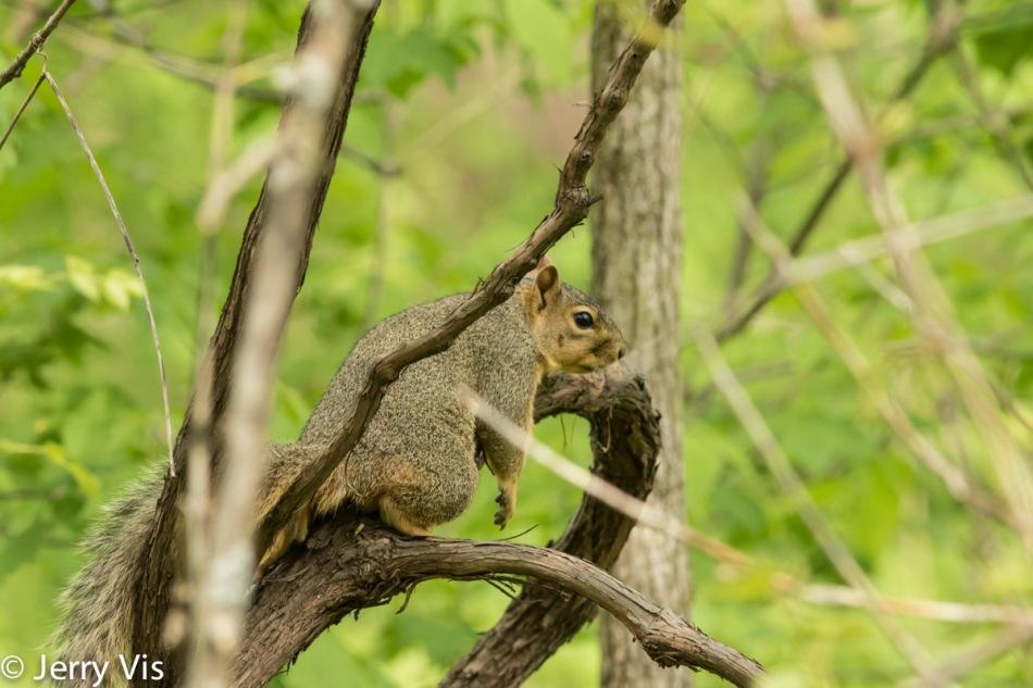 Fox squirrel keeping cool