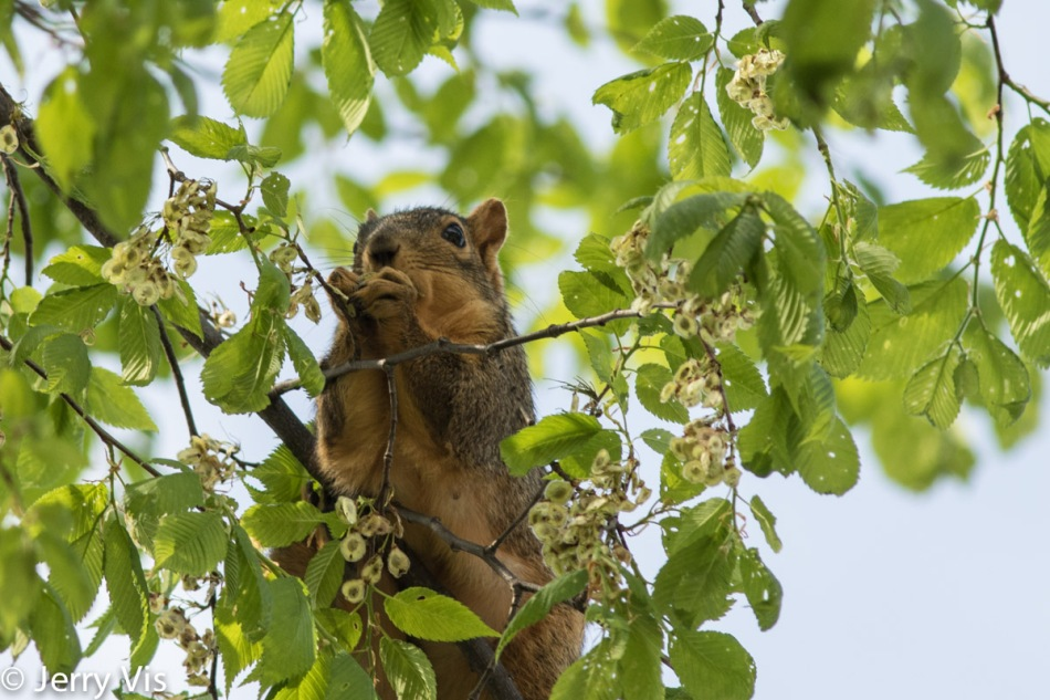 Fox squirrel chowing down