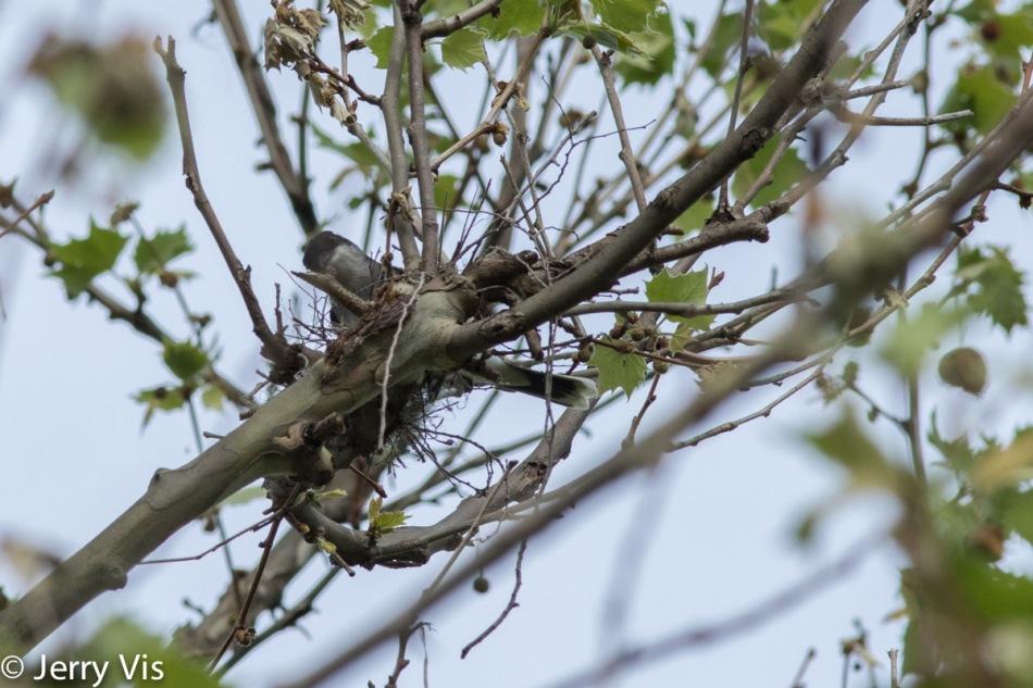 Eastern kingbird building a nest